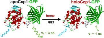 TOC figure of JPC A GFP-heme fusion paper